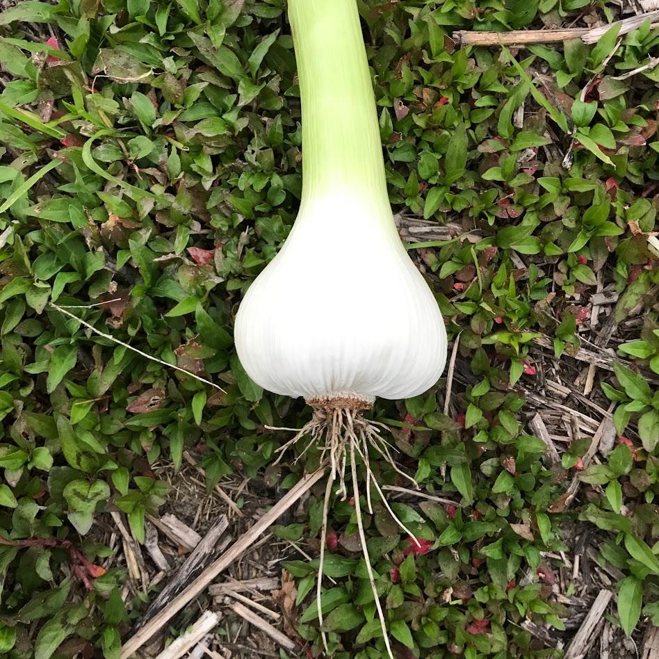 はじめての無肥料・無投薬にんにく栽培。